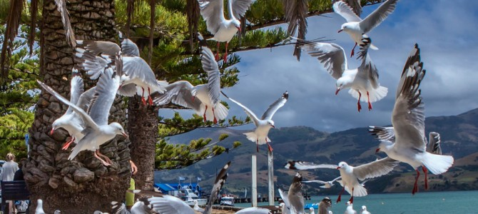 LE MOUTON…! (tout ce que vous avez toujours voulu savoir sans…) Akaroa, New Zealand